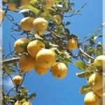 La pianta di limone perde le foglie?