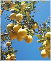 La pianta di limone perde le foglie for Pianta di limone