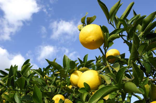 "Peter Paul and Mary: ""Lemon Tree"""