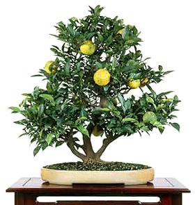 Citrus Tree Bonsai