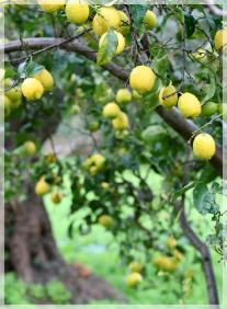 La coltivazione del limone