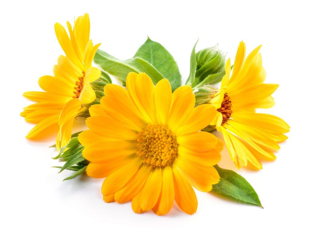 Marigold (Calendula gen.)