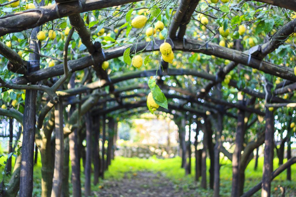 coltivazione del limone